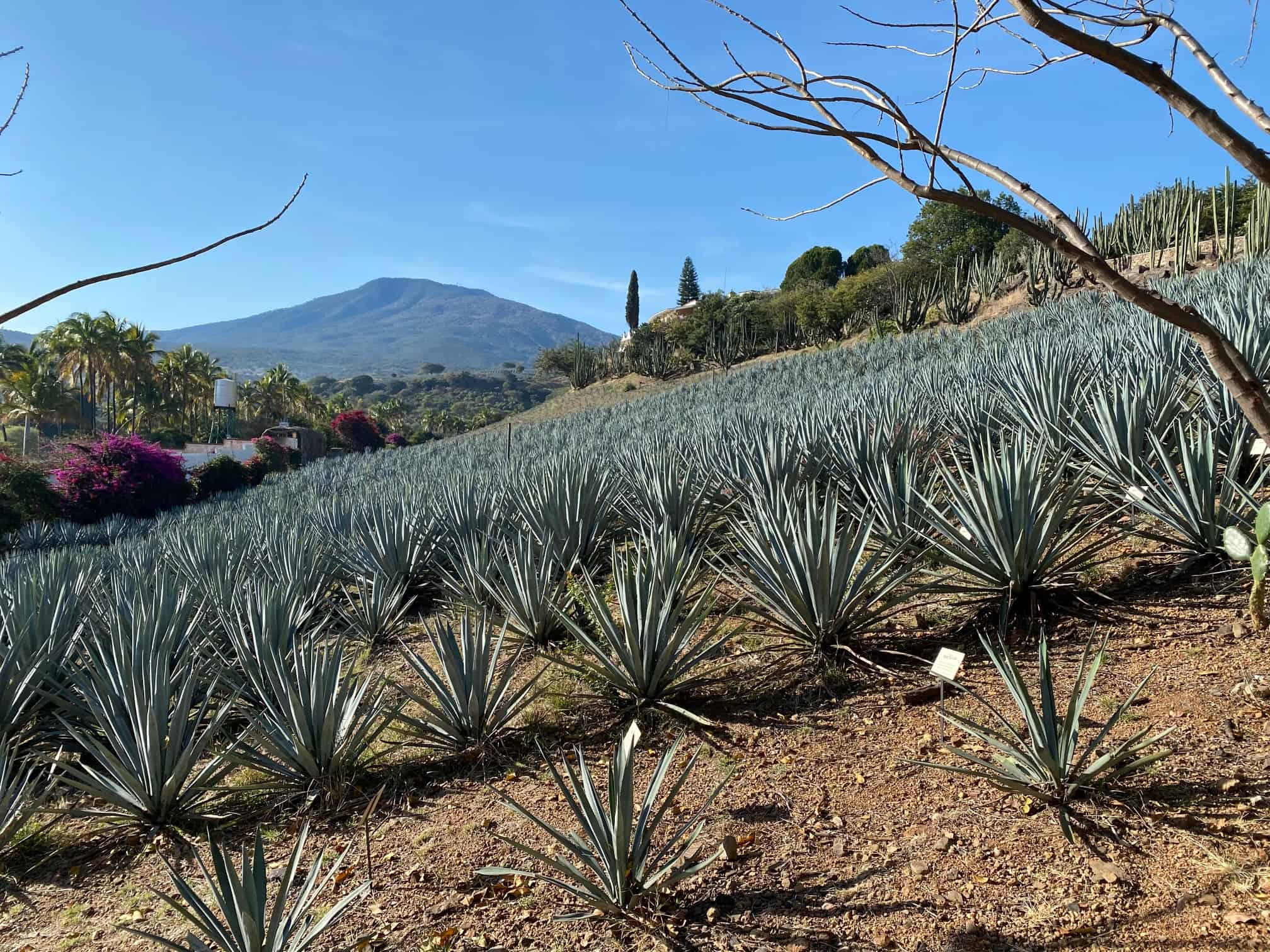 Tequila Agave Field Jalisco